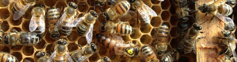 Bienenkönigin auf Bienenwabe